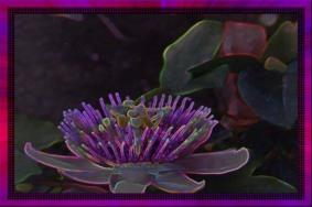 Passion Flower Digital Edit.