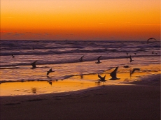 New Photo Art Titled: Early Morning Rush of Birds on Oceans Edge. Digital painting from photograph taken at dawn showing a rush of sea birds mostly flying, fishing and gliding with one running.